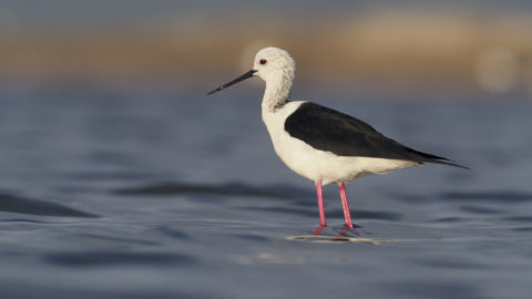 Black-winged stilt, Himantopus himantopus, single bird in water, Spain, May 2018